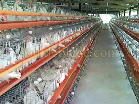 الدجاج البيوض